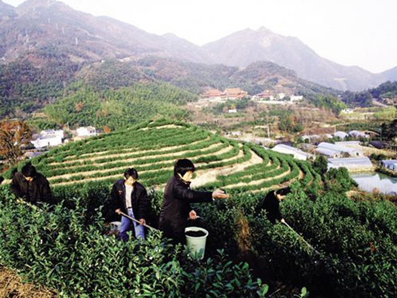茶园专用型有机肥